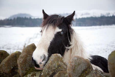 piebald: Horse with bright blue eyes looking over a wall directly into the camera  Background shows wintery landscape of the Forest of Bowland in England, UK Stock Photo