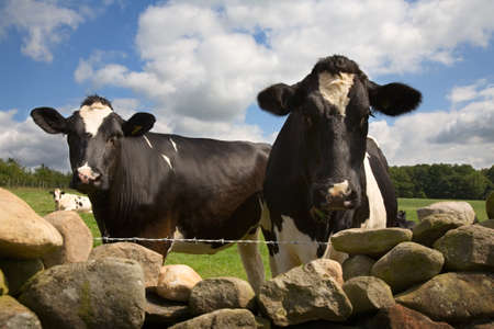 drystone: Two cows look over a drystone wall in the Eden Valley, Cumbria, England, UK  Stock Photo
