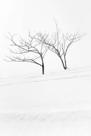 bare trees: Bare winter trees in the snow