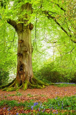 Een volwassen boom in het bos in het voorjaar