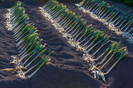 leek: Fully grown leeks planted in rows and ready to harvest