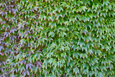 A wall covered in green and red tinged ivy photo
