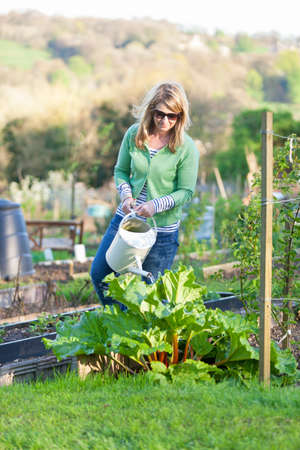 allotment: A woman uses a watering can to water a rhubarb plant in a city allotment Stock Photo