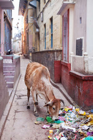 scavenging: VARANASI, INDIA - JANUARY 05, 2015: A cow scavenging scraps of food from a pile of rubbish on a side street. Cattle are often seen roaming the streets freely in India.