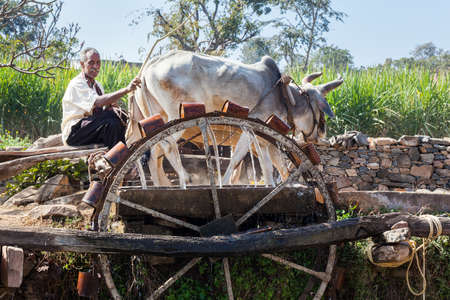 oxen: KUMBHALGARH, INDIA - JANUARY 17, 2015: A farmer works a pair of oxen to drive a water wheel in rural Rajasthan. The cattle turn the wheel which draws water from a deep well up onto the crops. Editorial