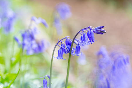 postproduction: Close up of woodland bluebells with a soft pastel colour effect added in post-production. Stock Photo