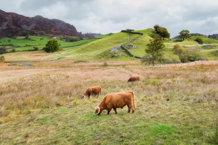 Highland Cattle Grazing in Little Langdale in the Lake District, UK. Stock Photo