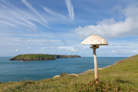 A large Parasol Mushroom, Macrolepiota procera, growing on the clifftop at Wooltack Point in Pembrokeshire, South West Wales. Shallow depth of field with selective focus on the mushroom.