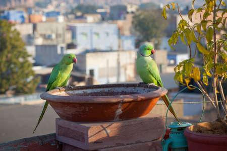 periquito: Un par de periquitos de Kramer encaramado en un baño del pájaro en una azotea en Jodhpur, Rajasthan, India Foto de archivo