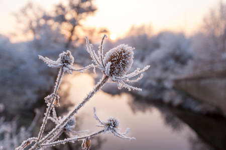 Close up of Frozen Teasel Plants at Sunset beside a River in England, UK