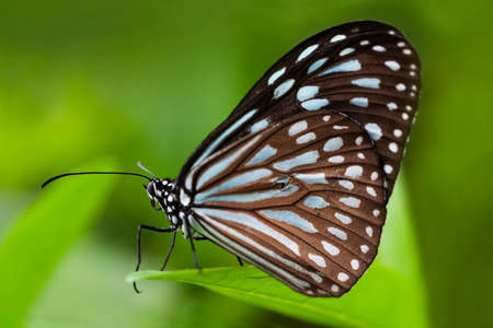 Close up of a Blue Tiger Butterfly, Tirumala limniace, on a leaf in Ishigaki, Japan.