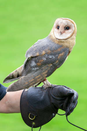 Portrait of a rescued barn owl perched on a leather falconry glove at a Bird of Prey centre