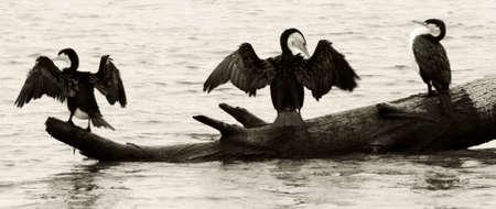 seabirds: Seabirds sitting on log about to take flight Stock Photo