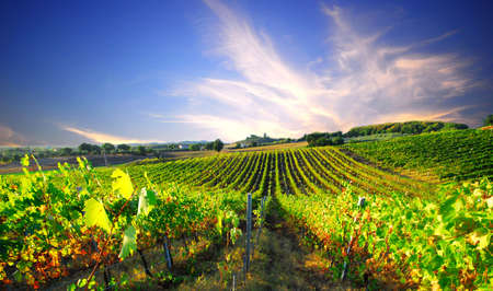 Fresh green grapevines disappear into the distant European sunset