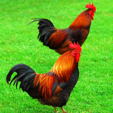 Two red roosters walking on green grass Stock Photo - 2375882