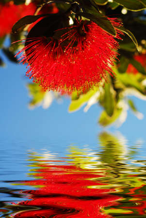 zealand: Pohutukawa - native flower of New Zealand reflected in clear water