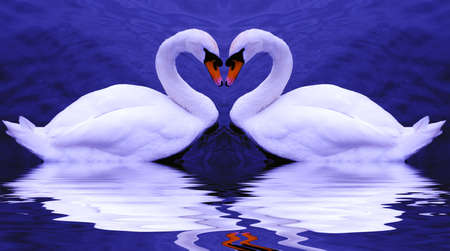 Valentines swans come together to form a heart-shape on a beautiful still pond...