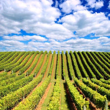Beautiful New Zealand vineyard in the evening
