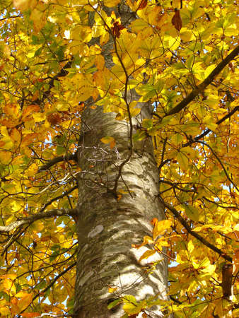 Looking up at a tree with yellow leaves photo