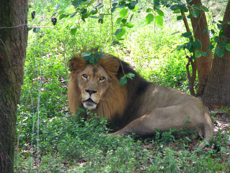Male African Lion laying in grass
