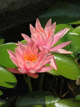 lilypad: Two lilypad blooms