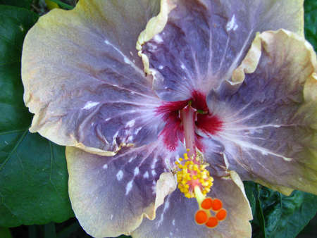 purple hibiscus Banco de Imagens