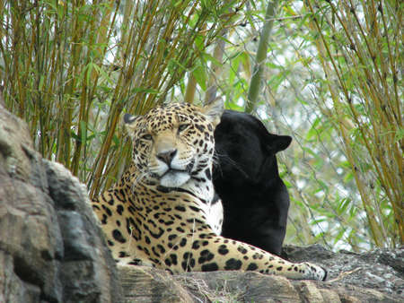 twee jaguars  Stockfoto