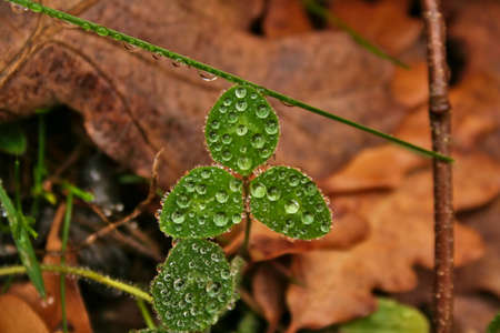 herbaceous: A very wet morning and Among fallen leaves of deciduous trees, small herbaceous Were clovers growing up. Were Drew drops covering the surface of Their three leaves.
