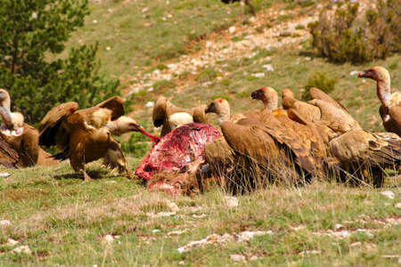 A red deer is dead Being eaten by a group of griffon vultures. The fights and Conflicts Among them Were constant. I was hidden a few meters away, covered by a dark green raincoat. Stock Photo - 50745596