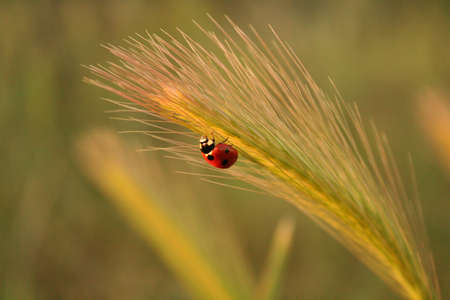 bounded: An isolated ladybird climbing up a bounded ear. The light of the sunset soften the scene, transmitting relaxation and calm. The place Where it was taken is Toledo Spain, close to the cliffs of the Tagus river.