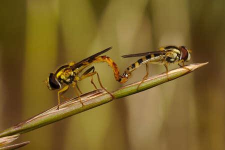 part of me: , A pesar de que parecen pertenecer al grupo de las abejas, whos Ellos son parte del grupo de las moscas. Ellos se encontraron escondido en un campo denso. Estaba esperando hasta que estuvieron sobre el extremo de una rama. Foto de archivo