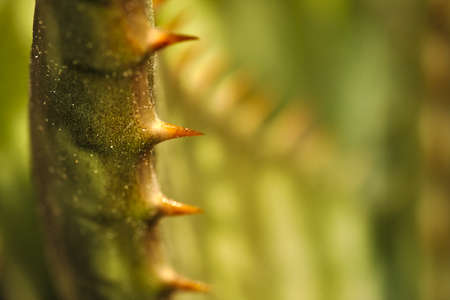 The edges of leaves of many species Have Prevent thorns in order to be eaten by animals Stock Photo