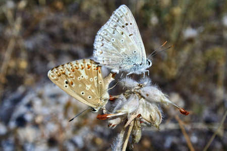 In summer, butterflies matte to produce offspring. These animals Were photographed in Pinilla del Valle Madrid, Spain.