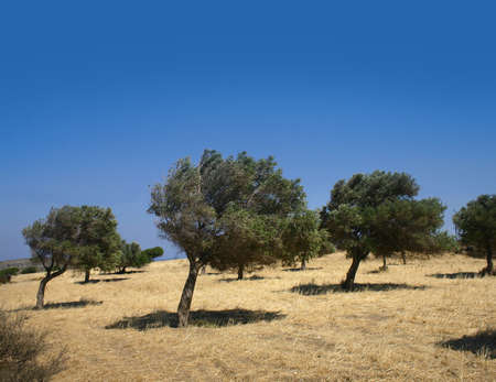 Bent trees on windy hill field Greek in olive grove photo