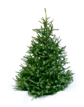 evergreen trees: Young green Christmas tree spruce on white snow background