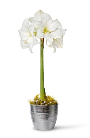 White amaryllis flower in pot isolated on white background photo