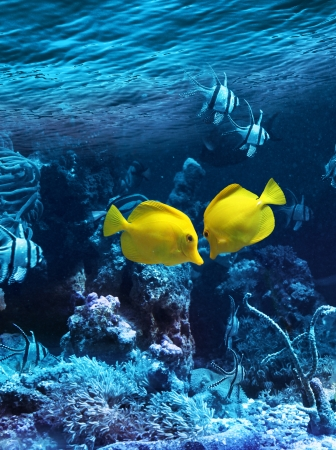 Two yellow tropical fishes meet in blue coral reef sea water aquarium