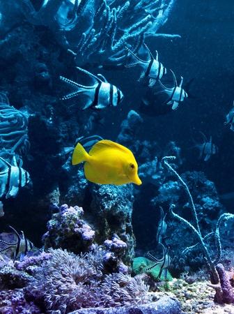 zebrasoma: Yellow tropical fish in blue coral reef sea water aquarium