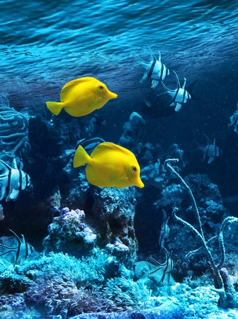 Two yellow tropical fishes in blue coral reef sea water aquarium