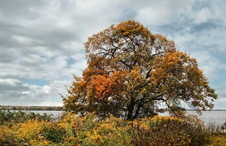 Olmo vecchio albero in colori autunnali sulla riva del lago
