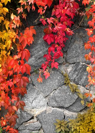 Red climbing plant on grey stone wall background