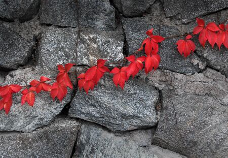 Red leaves climbing plant on gray stone wall background photo