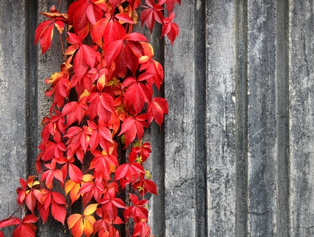 Autumn red climbing plant on grey wall background photo