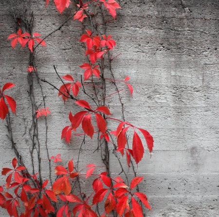 Red climbing plant on grey concrete stone wall background