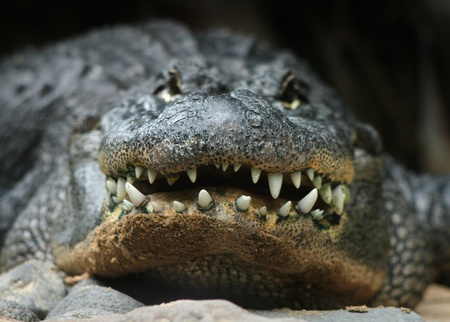Big alligator head and teeth front potrait Standard-Bild
