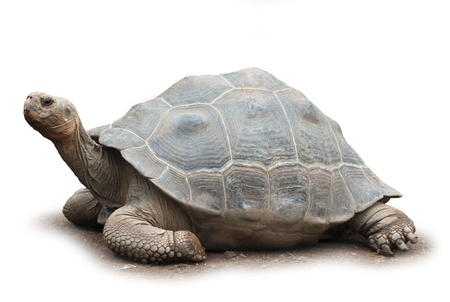 Big old giant turtle isolated on white background soft shadow