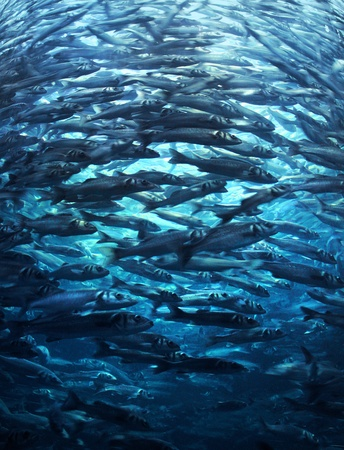 Fish shoal crowd rushing forward in blue sea water Standard-Bild