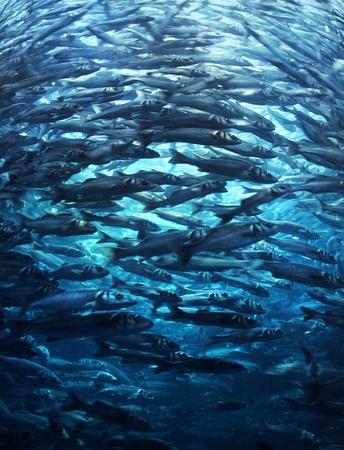 shoal: Fish shoal crowd rushing forward in blue sea water Stock Photo