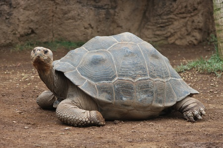 rare animal: Giant turtle crawling on ground and looking Stock Photo