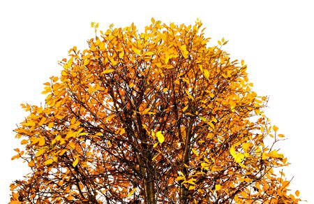 treetop: Colorful autumn leaves tree top isolated on white Stock Photo